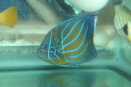 "Blue Ring Angel-4"""