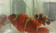 Gold Stripe Maroon Clownfish Pair