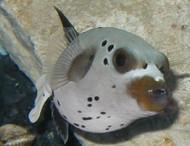 "Dogface Pufferfish 3-4"""