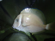 "White Bar Surgeonfish (4"")"