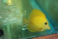 Yellow Scopas Tang