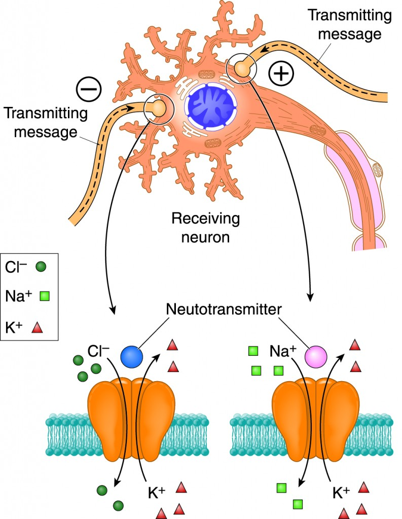 neurotransmitter-diagram-793x1024.jpg