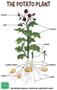 Label the potato plant parts.
