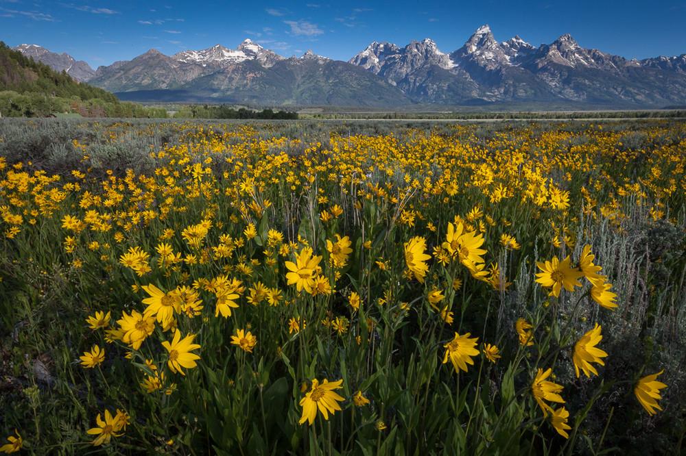 Tetons and Sunflowers