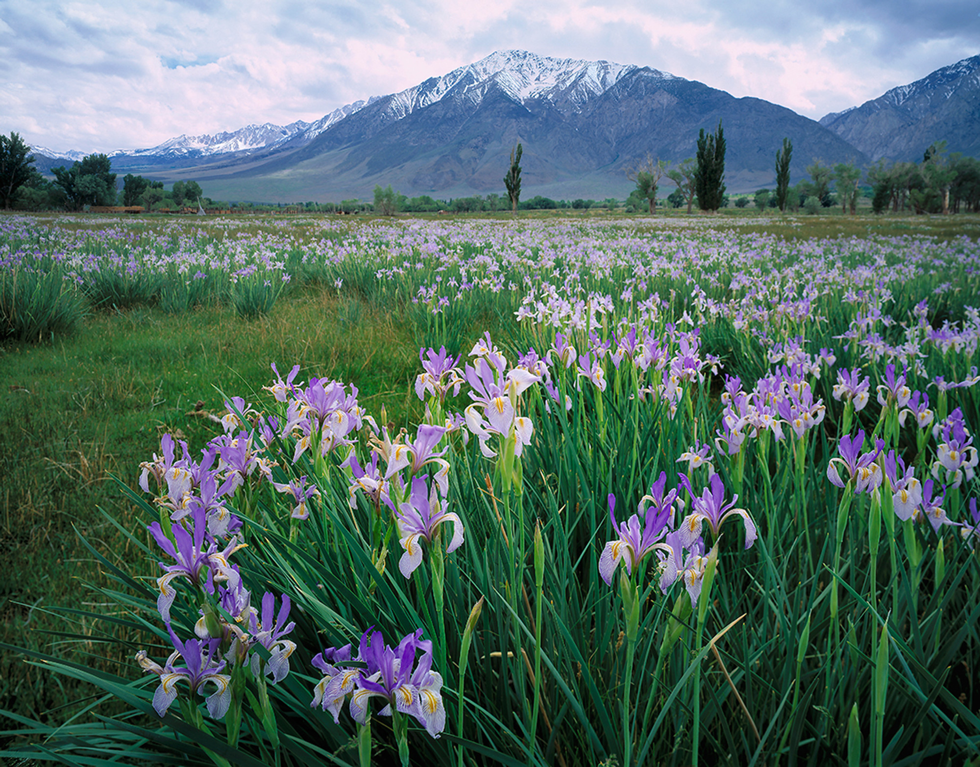 Wild Iris And Mount Tom Vern Clevenger Photography