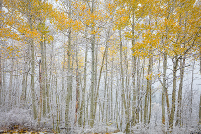 Late Season Aspens and Snow