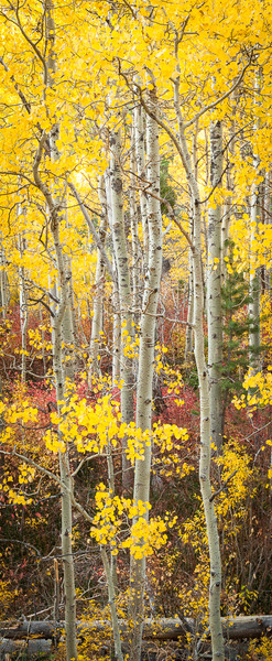 Lee Vining Aspens and Color