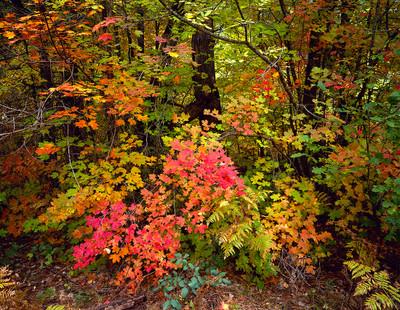 Autumn Maples in Oak Creek Canyon