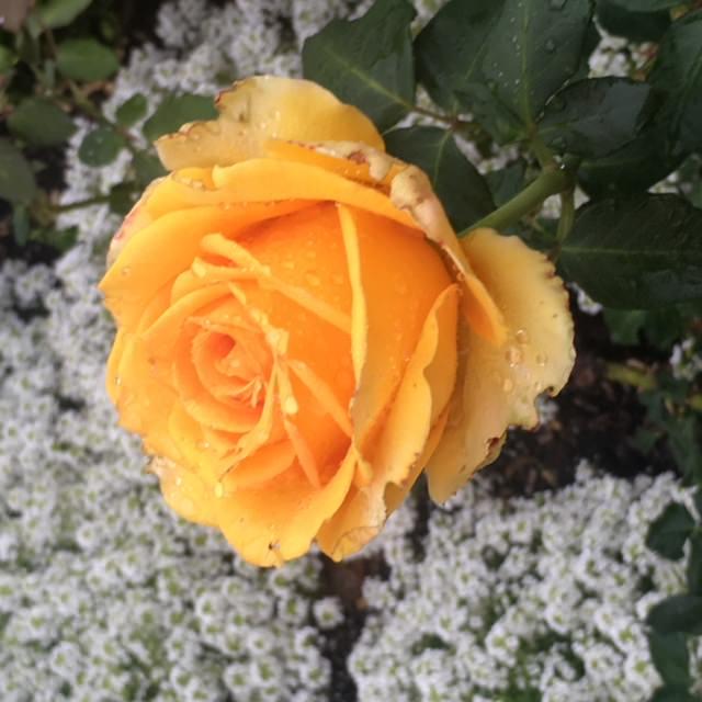 Sydney royal botanic garden flowers