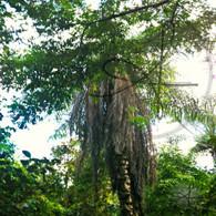 Belize Bermudian Landing Jungle Tree