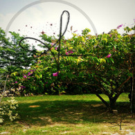 Bacab Flowering Tree