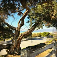 Austrailian Tea Tree and Fence