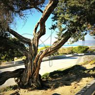 Austrailian Tea Tree