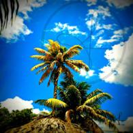 Belize Howler Monkey Palm Trees