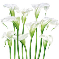 BS77426S - White Lilies (6 sympathy cards)