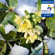 CC90010CH - Hellebores (6 charity Christmas packs) 20% Discount