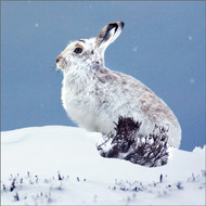 TWT91164 - Mountain Hare  8pk (TWT, 6 Christmas packs)