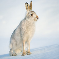 TWT91150 - Mountain Hare 8pk (TWT, 6 Christmas packs)