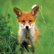 WT91373 - Red Fox (TWT, 6 blank cards)
