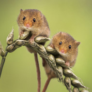 WT91381 - Harvest Mice (TWT, 6 blank cards)
