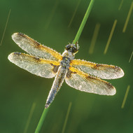 WT91388 - Four-spotted Chaser (TWT, 6 blank cards)