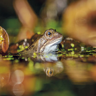 WT91376 - Common Frog (TWT, 6 blank cards)