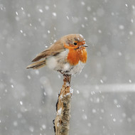 SM14146 - Robin in Falling Snow (6 blank cards)