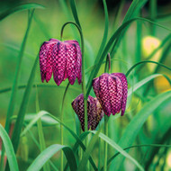 SM14156 - Fritillaries (6 blank cards)