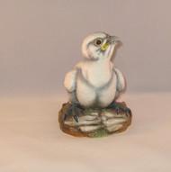 Fledgling Peregrine Falcon 200-10