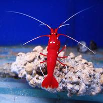 Blood Red Shrimp