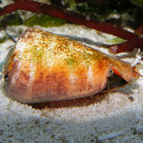 Strawberry Conch