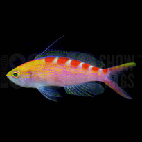 Red Saddled Anthia