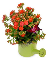 KALANCHOE WATERING CAN