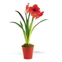Beautiful dramatic blooming Amaryllis Plant is the perfect special gift this Holiday season.