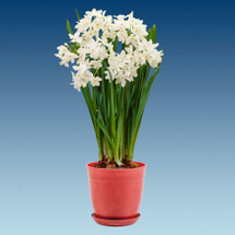 """Fragrant blooming Paperwhites in a 6"""" pot."""