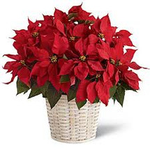 "Large 10"" Poinsettia Basket"
