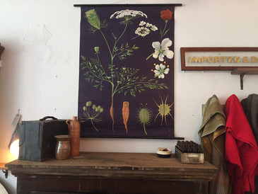 Vintage Chart, Wild Carrot Illustration