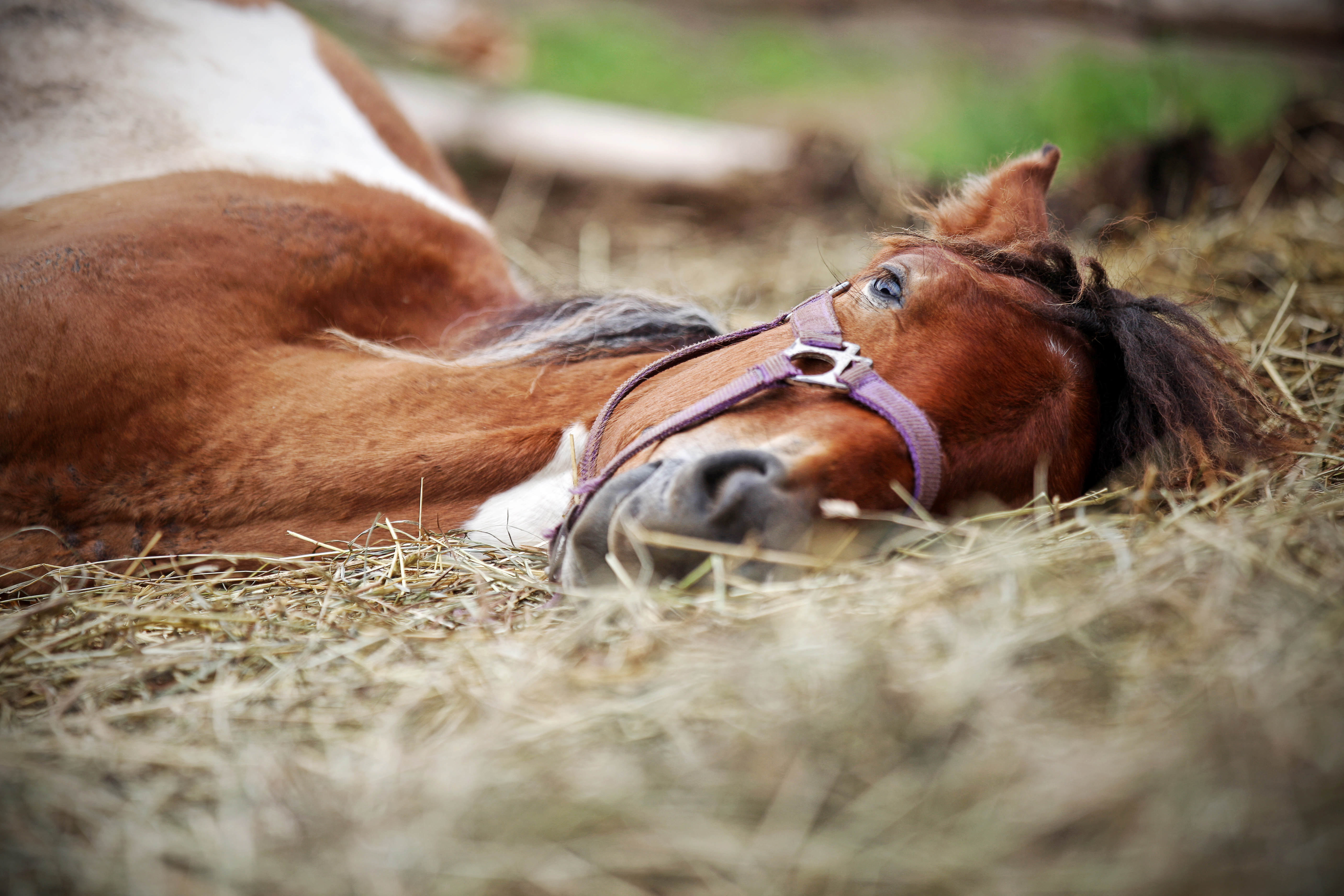 Brown mare laying down in hay pile