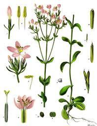 Centaury Herb Cut 1/2 oz
