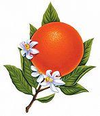 Orange, Sweet Essential Oil 1 dram