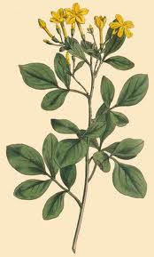 Jasmine Fragrance Oil 1 dram