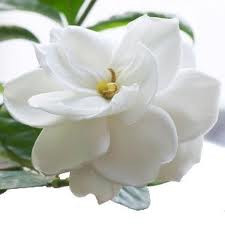Gardenia Fragrance Oil 1 dram