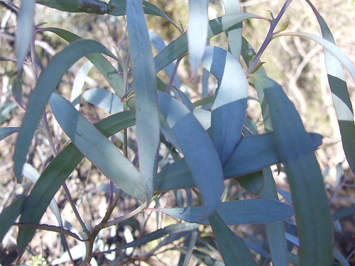 eucalyptus-blue-mallee.png