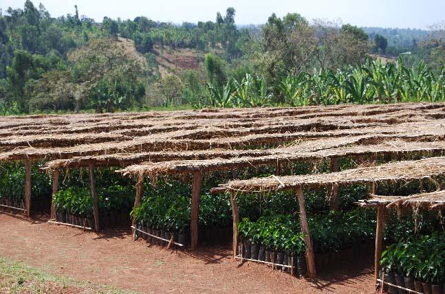 New coffee plants in a nursery