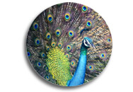 peacock-feathers-188x130-copy.jpg