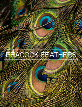 peacock-feathers-280x376-copy.jpg