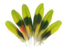 4 Pieces - Lime Green Red Amazon Parrot Wing Feathers - Rare-