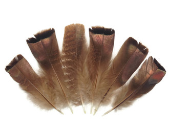 High quality turkey tail feathers. These natural bronze wild turkey feathers  an be used for headpieces, accessories, and  projects.