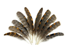 Black and brown striped quill tip feathers