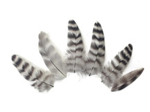 Black and white striped short little feathers
